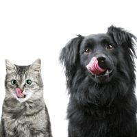 Hungry light gray cat and black dog with their tongues linking their chops